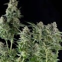 Northern Lights (Pyramid Seeds) feminized