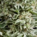Auto Amnesia Gold (Pyramid Seeds) feminized