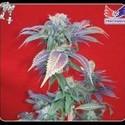 Purple Haze 1 (Positronics) feminisiert