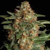 CBD Spliff Berry (Spliff Seeds) Femminizzata