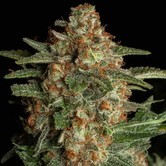 Purple Berry Kush (Spliff Seeds) feminisiert