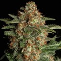 Purple Berry Kush (Spliff Seeds) femminizzata