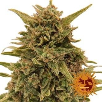 Blueberry OG (Barney's Farm) feminized
