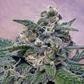 Super Cheese (Positronics) feminized