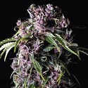 Purple (Pyramid Seeds) feminized