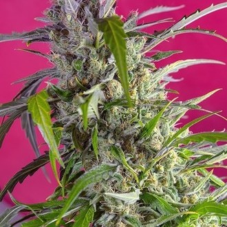 Crystal Candy Auto (Sweet Seeds) feminisiert