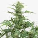 Industrial Plant Autoflowering CBD (Dinafem) feminisiert
