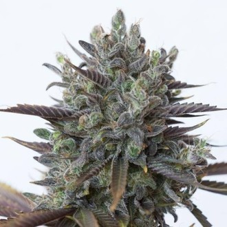 Purple Orange CBD (Dinafem) feminisert