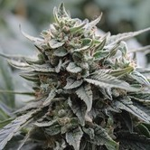 Lemon Head (Dark Horse Genetics) Regolare