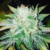 Orange Cream (Dark Horse Genetics) Regolare