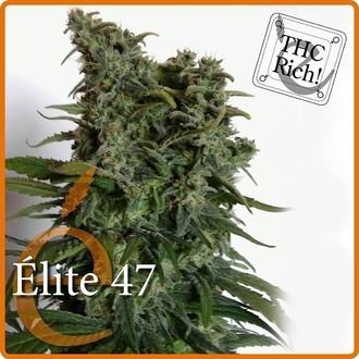 Elite 47 (Elite Seeds) Femminizzata