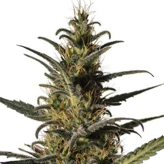 High CBD Strains - Zamnesia