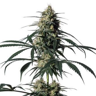 Hiydrow (HY-1) (Medical Marijuana Genetics) Femminizzata