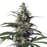 Green Doctor (GD-1) (Medical Marijuana Genetics) femminizzata