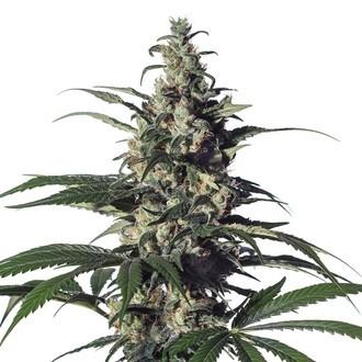 Green Doctor (GD-1) (Medical Marijuana Genetics) feminisiert