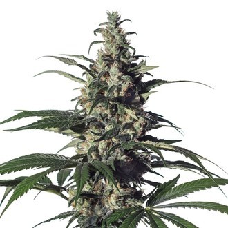Green Doctor (GD-1) (Medical Marijuana Genetics) feminized