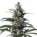 Green Doctor (GD-1) (Medical Marijuana Genetics) feminisiert