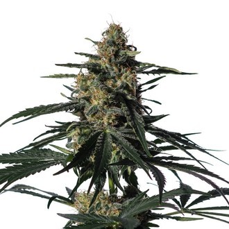 Nightingale (NN-1) (Medical Marijuana Genetics) Femminizzata