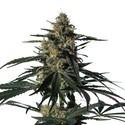 Nightingale (NN-1) (Medical Marijuana Genetics) feminisert