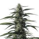 Txaki (TX-1) (Medical Marijuana Genetics) feminisiert