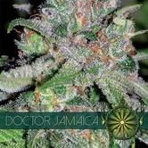 Doctor Jamaica (Vision Seeds) Femminizzata