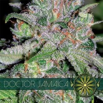 Doctor Jamaica (Vision Seeds) feminisiert