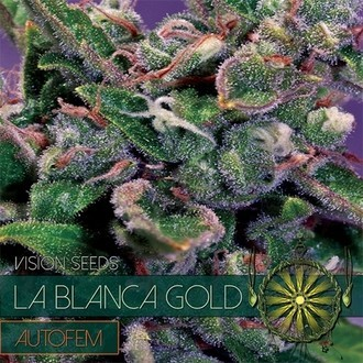 La Blanca Gold Autoflowering (Vision Seeds) feminisiert