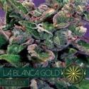 La Blanca Gold Autofiorente (Vision Seeds) Femminizzata