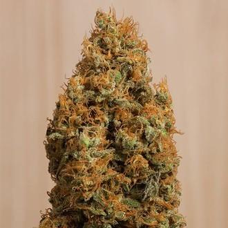 Green Crack CBD (Humboldt Seeds) Femminizzata