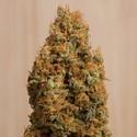 Green Crack CBD (Humboldt Seeds) feminized