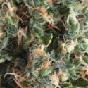 Auto Super OG Kush (Pyramid Seeds) feminized