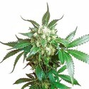 Black Domina (Sensi Seeds) Feminisiert