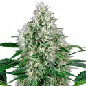 Pure Power Plant Automatic (White Label) feminized