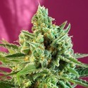 S.A.D. Sweet Afgani Delicious CBD (Sweet Seeds) feminisiert