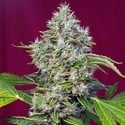 San Fernando Lemon Kush (Sweet Seeds) feminized