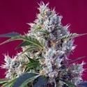 Indigo Berry Kush (Sweet Seeds) femminizzata