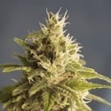 GG1 (House Of The Great Gardener) Feminized