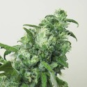 Digweed (House of the Great Gardener) feminized