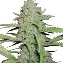 Sweet Bubble (Zativo Seeds) femminizzata