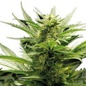 Sour Diesel (Zativo Seeds) feminized