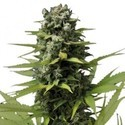 Blue Haze (Zativo Seeds) feminized