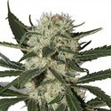 Northern Lights (Zativo Seeds) feminisiert