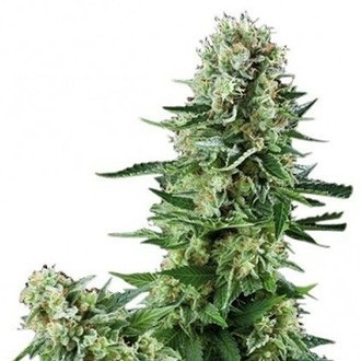 White Widow (Zativo Seeds) feminisiert
