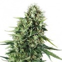 Chocolate Haze (Zativo Seeds) Femminizzata