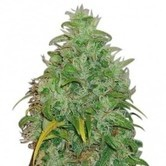 Original Skunk (Zativo Seeds) feminized