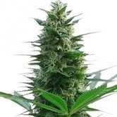 Cheese (Zativo Seeds) feminized