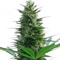 Cheese (Zativo Seeds) feminisiert