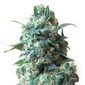 Critical (Sensation Seeds) feminized