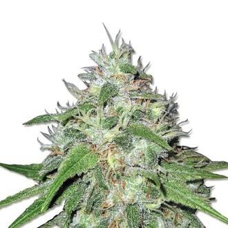 Amnesia Haze (Sensation Seeds) Femminizzata