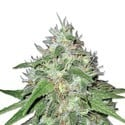 Amnesia Haze (Sensation Seeds) feminized